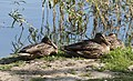 Three Creeks - 3 Mallards Resting near the Wetlands 1.jpg
