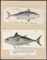 Thynnus thynnus - 1700-1880 - Print - Iconographia Zoologica - Special Collections University of Amsterdam - UBA01 IZ13500192.tif