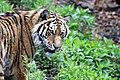 Tiger-head.jpg