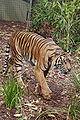 Tiger02 - melbourne zoo.jpg