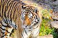 Tiger (15003709634).jpg