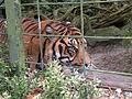 Tigers in ZooParc de Beauval 1.JPG