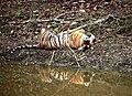 Tigress lazing around.jpg