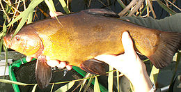 The Tench (Tinca tinca) is of unclear affiliations and often placed in a subfamily of its own
