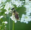 Tiny Bee, worn Andrena sp possibly Andrena chrysosceles - Flickr - gailhampshire.jpg