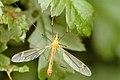 Tipula.fascipennis.male.jpg