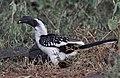 Tockus jacksoni -Kenya -female-8.jpg