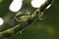 Tolmomyias assimilis -NW Ecuador-8