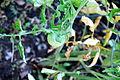 Tomato Plant 7 2012-07-28.jpg