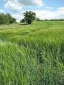 Tractor tramlines in barley crop - geograph.org.uk - 1355396.jpg