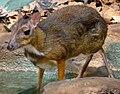Tragulus javanicus - Zoo Frankfurt.jpg
