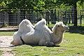 Trampeltier Camelus Ferus (210260211).jpeg
