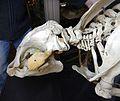 Trichecus manatus heand skeletton Lamantin GLAM MHNL 2016 Lamiot 3.JPG