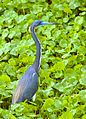 Tricolored Heron in Breeding Plummage - Flickr - Andrea Westmoreland.jpg