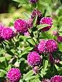 Trifolium alpestre Koniczyna dwukłosowa 2015 02.jpg