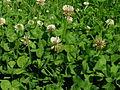 Trifolium repens plant1 (10733728494).jpg