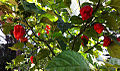 Trinidad moruga scorpion ripe ready to pick.jpg