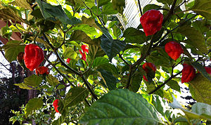 Trinidad moruga scorpion - Trinidad moruga scorpion, ripe and ready to pick