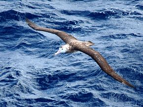 Description de l'image Tristan Albatross (1).jpg.