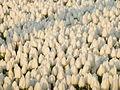 Tulip 1290300.jpg