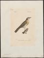 Turdus naumanni - 1842-1848 - Print - Iconographia Zoologica - Special Collections University of Amsterdam - UBA01 IZ16300211.tif
