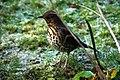 Turdus philomelos -Scotland-6.jpg