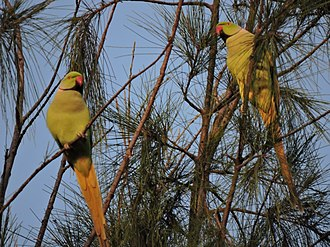 Chandigarh - Parakeets at the Parrot Bird Sanctuary