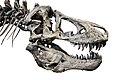 Tyrannosaurus rex skull cast (MOR980).jpg