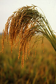 Nearly all the food we eat comes (directly and indirectly) from plants like this American long grain rice.
