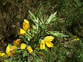 Ulex europaeus (Fabaceae) - (flowering), Ambt Delden, the Netherlands.jpg