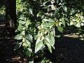 Ulmus parvifolia 'Dynasty' - J. C. Raulston Arboretum - DSC06180.JPG