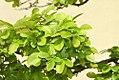 Ulmus parvifolia 8zz.jpg