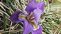 Une photo d'une fleure au parc national de Belezma.jpg