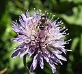 Unidentified bee (9067519760).jpg