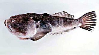 Demersal fish - The stargazer Uranoscopus sulphureus.