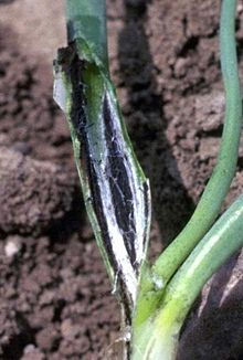 Urocystis colchici on an onion seedling.jpg