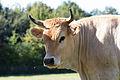 Vache nantaise, Écomusée du pays de Rennes, France-2.jpg