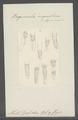 Vaginicola inquilina - - Print - Iconographia Zoologica - Special Collections University of Amsterdam - UBAINV0274 113 20 0004.tif