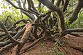 Van Riebeeck's Hedge, Kirstenbosch Botanical Garden, Cape Town-005.jpg