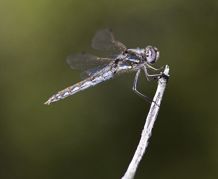 File:Variegated Meadowhawk (Sympetrum corruptum) dragonfly, female (5070363690).jpg