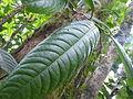 Vegetación de la Reserva de la Biosfera La Amistad Panama (RBLAP) 04.JPG
