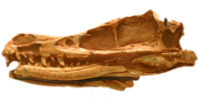 Velociraptor mongoliensis AMNH-6515.png