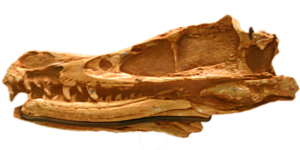 Velociraptorinae - Type skull of Velociraptor mongoliensis, American Museum of Natural History
