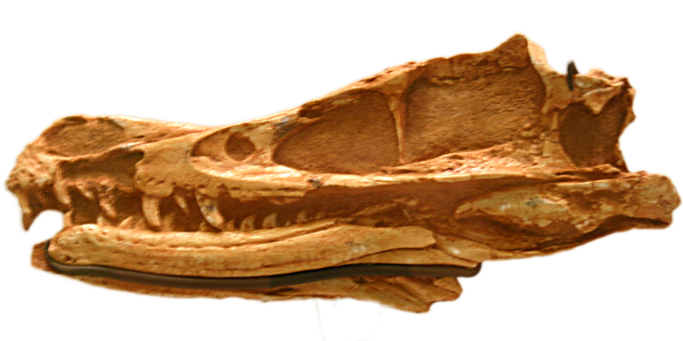 Velociraptor mongoliensis AMNH-6515
