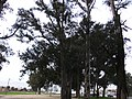 Venerable trees - panoramio.jpg