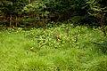 Veratrum album subsp. oxysepalum 22.jpg