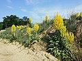 Verbascum speciosum sl31.jpg