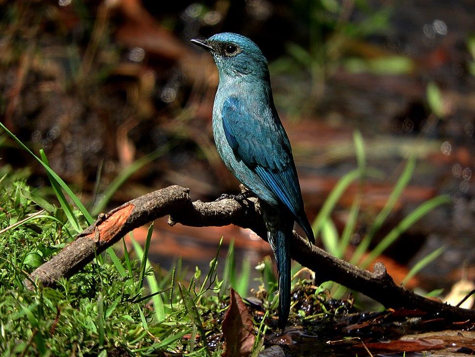 Verditer Flycatcher female at Sattal DSCN9069