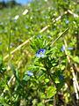 Veronica arvensis flower.JPG