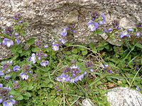 Veronica nevadensis 1.jpg